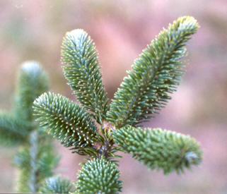 fraser fir - Kinds Of Christmas Trees